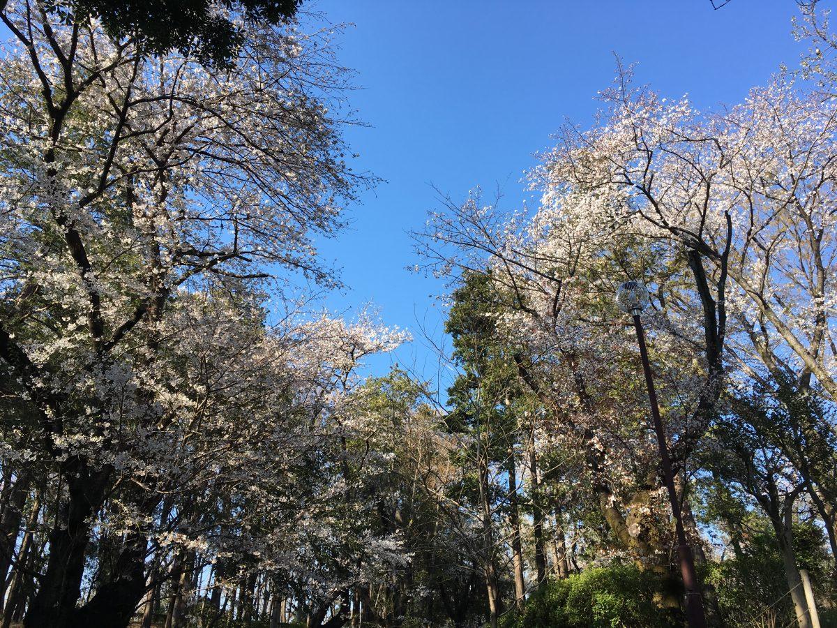 桜満開、桜吹雪かなぁ